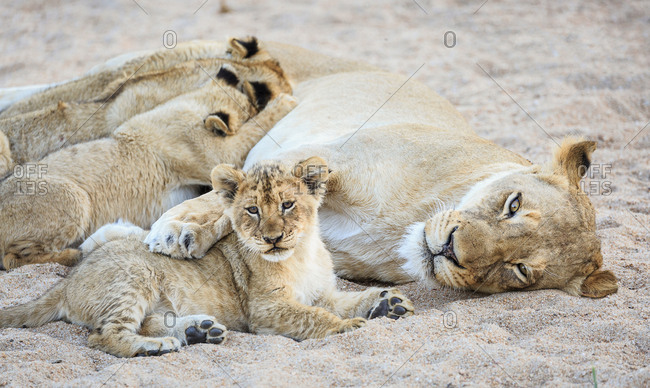 Lioness with paw over resting cub, and three more nursing, Panthera leo, in a sandy riverbed