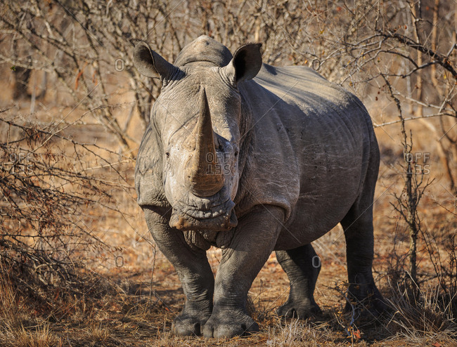 White rhinoceros, Ceratotherium simum, standing in the brush