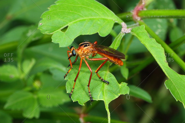 A robber fly, Diogmites species, perching on a leaf