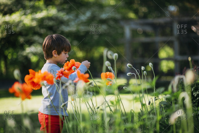 Young boy in backyard touching an orange poppy flower