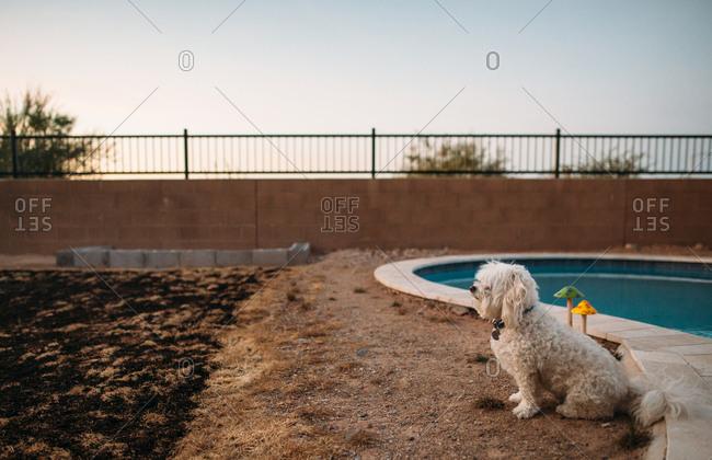 Fluffy white dog sitting beside backyard pool