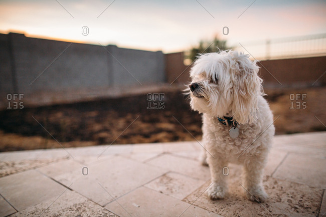 Fluffy white dog walking on backyard patio