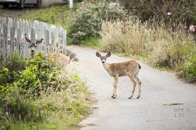 A doe and fawn deer pause while crossing the road in the tiny beach town of Salmon Creek on the Northern California Coast