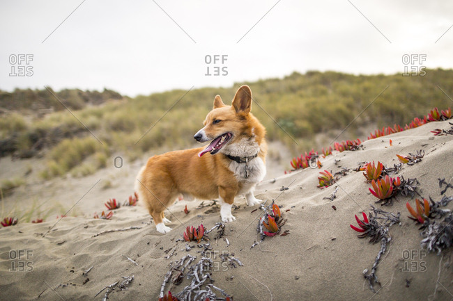 Two dogs on the beach and sand dunes at Salmon Creek, on the Northern California Coast