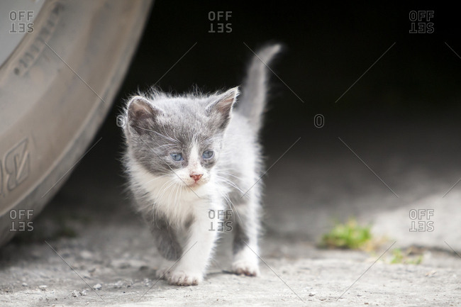 Newly born kittens play in the streets in Chavin de Huantar, Peru