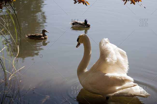 A white swan in a pond on a spring day at the Palace of Fine Arts in San Francisco, CA