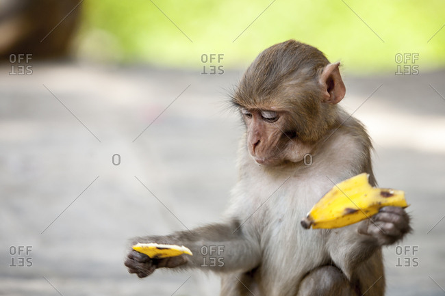 A young juvenile monkey eats a banana given to it by a tourist at Swayambhunath, the Monkey Temple in Kathmandu, Nepal