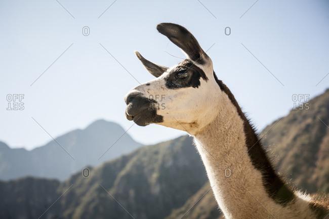 A llama looks about in Machu Picchu, Peru