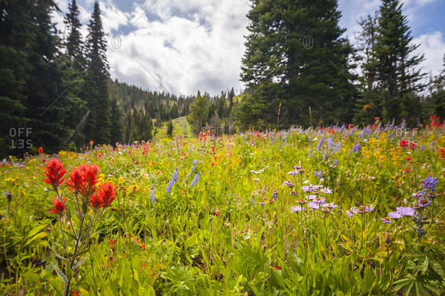 Wildflowers along the trail on a hike through the Caribou-Targhee National Forest near Island Park, Idaho