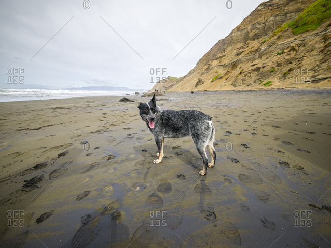 Cute dog takes a romp on the beach at Fort Funston, in San Francisco, CA