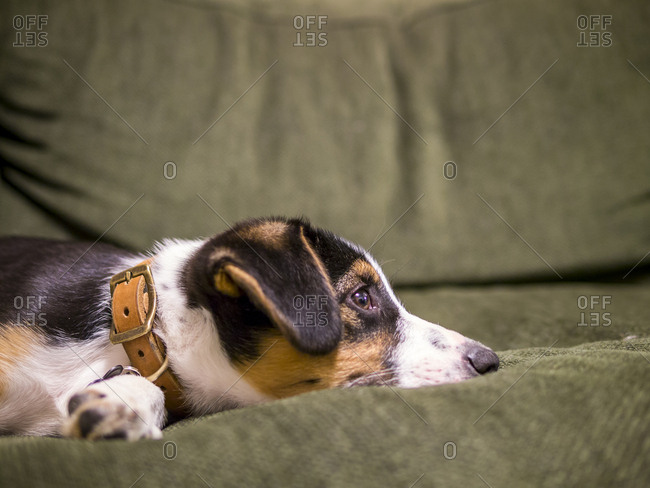 Border collie mix puppy takes a nap on a green couch