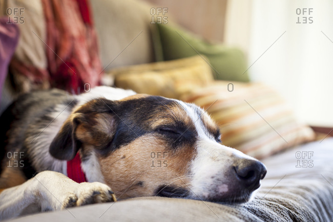 Border collie australian shepherd mix tries to take a nap on a futon in a cabin