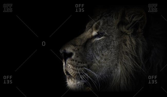 Male lion profile on dark background