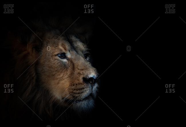Male lion head on dark background