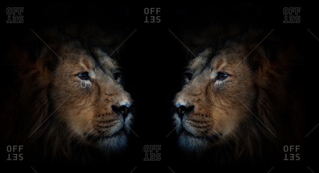 Symmetrical male lions face to face