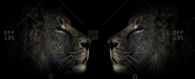 Two male lions face to face