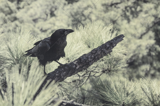 Raven perching on a branch