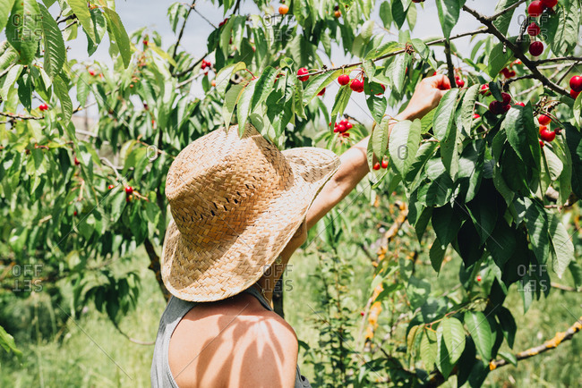 Woman with straw hat picking cherries
