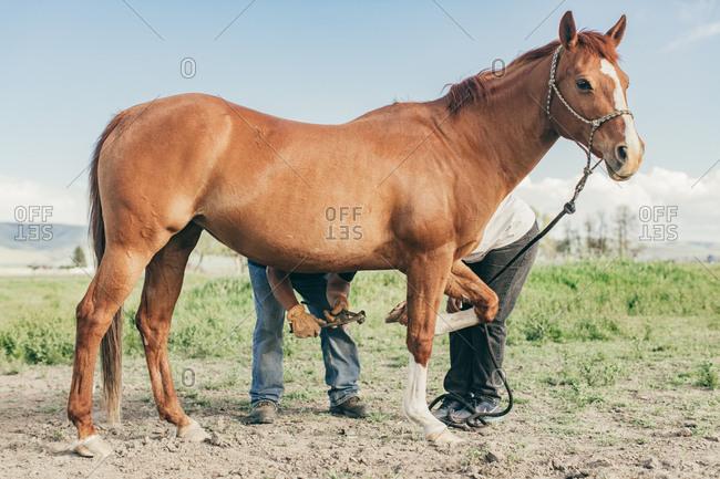 Umatilla Reservation, Pendleton, Oregon - May 10, 2017: Couple cleaning horse's hooves
