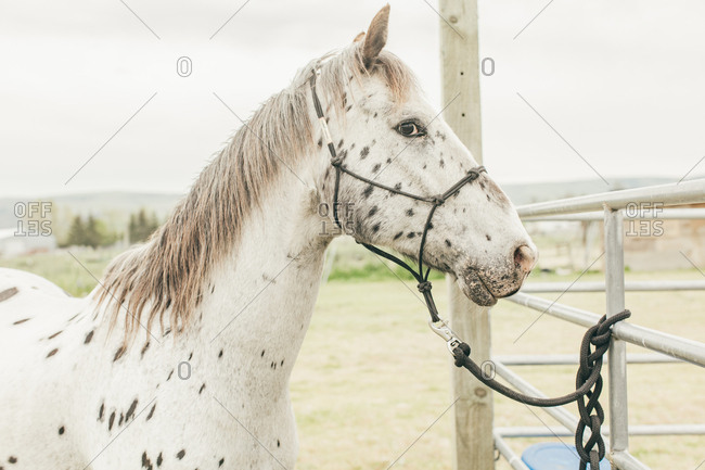 Umatilla Reservation, Pendleton, Oregon - May 10, 2017: Close up of a white spotted horse