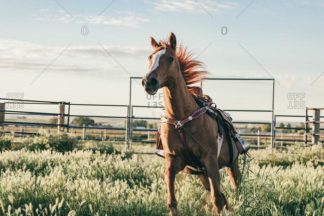 Umatilla Reservation, Pendleton, Oregon - May 18, 2017: Brown horse running in pasture