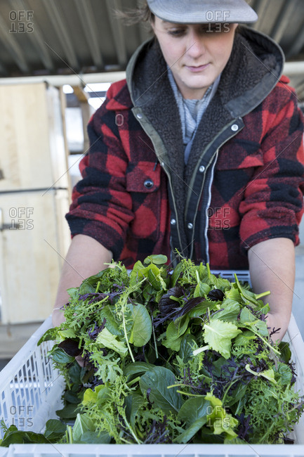 Farmer with fresh baby lettuces