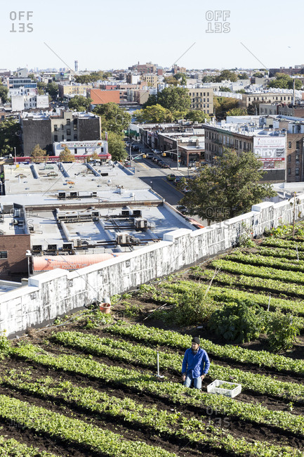 January 25, 2017: Man tending crop on rooftop garden