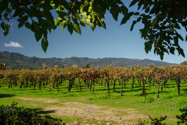 Rows of grapevines in a vast vineyard and distant mountains