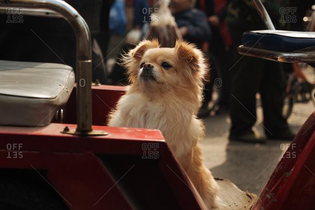 Superb Small Dog Standing Near A Bench Stock Photo Offset Frankydiablos Diy Chair Ideas Frankydiabloscom