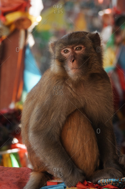 Monkey sitting on cloth gazing into the distance
