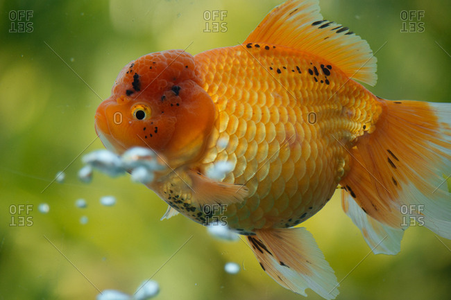 Plump goldfish in bubbling water