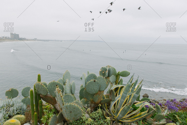 Cactus plants by Pacific ocean