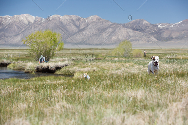 Dogs and person in grassy mountain valley