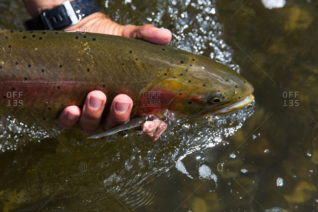 Hand releasing trout into water