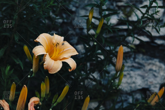 Daylily flower and buds