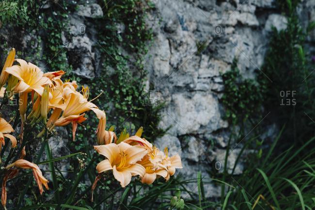 Many orange daylilies in full bloom