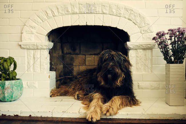 Shaggy dog lying in fireplace