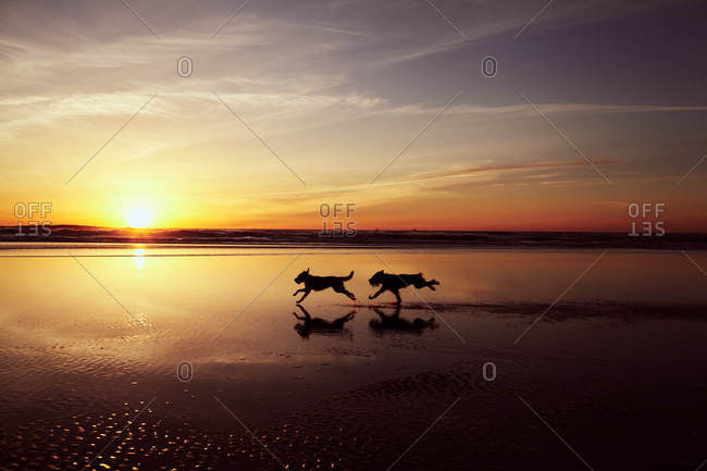 Silhouette of dogs running on the Pacific coast at sunset