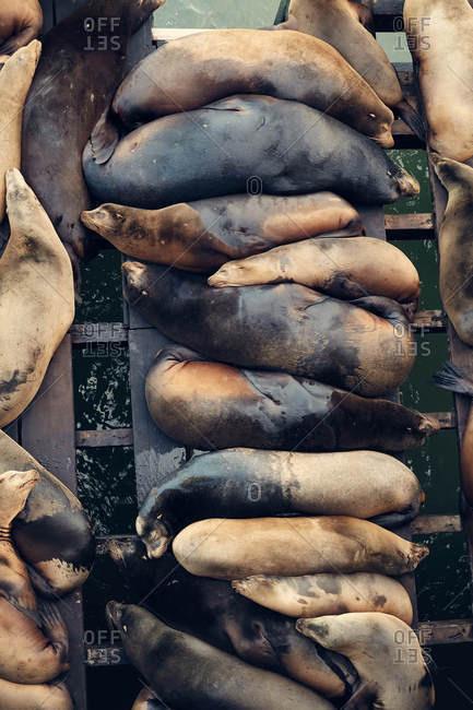 High angle view of sea lions on the Warf in Santa Cruz, California