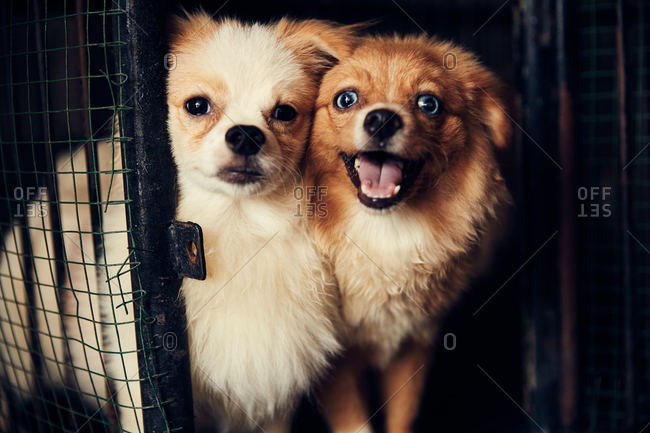 Two little fluffy dogs in a cage