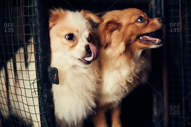 Two fluffy dogs in a cage