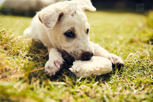 Young white puppy chewing toy