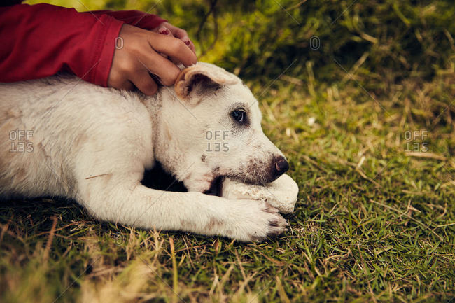 Person petting young white puppy