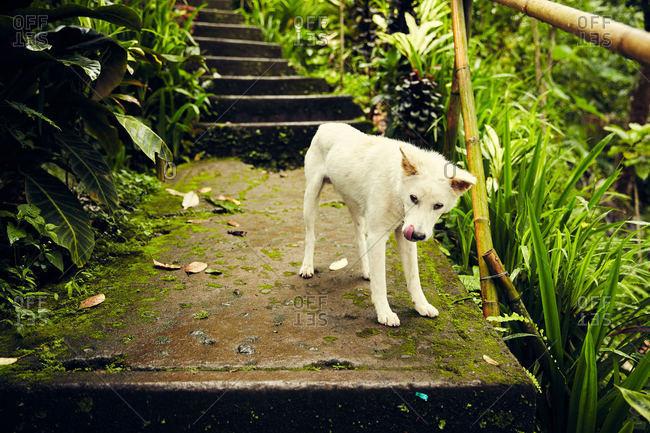 Dog on steps in rural Bali