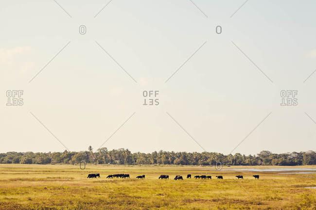 Cows grazing in field in Sri Lanka