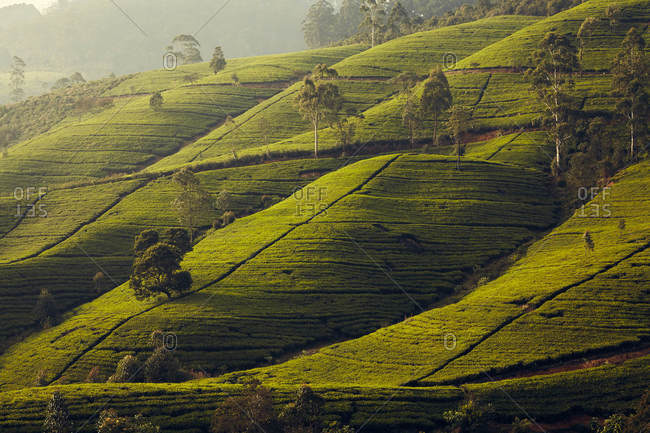 Lush hillside in Sri Lanka