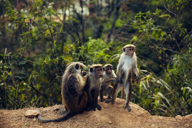 Group of toque macaque monkeys, Sri Lanka