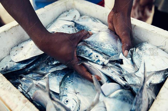 Hands grabbing fresh caught fish