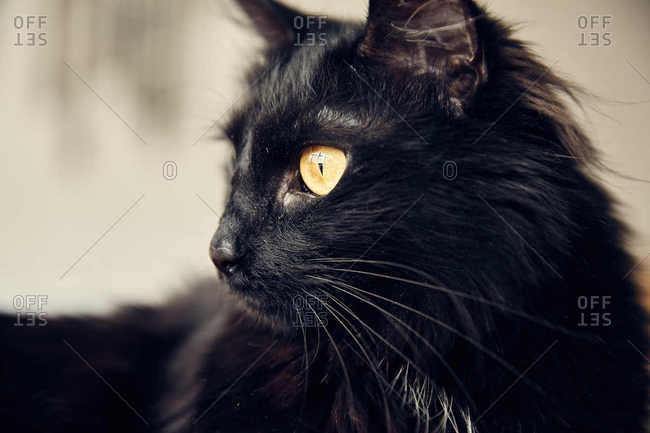 Profile of alert black cat