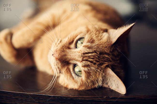 Orange cat lying on table